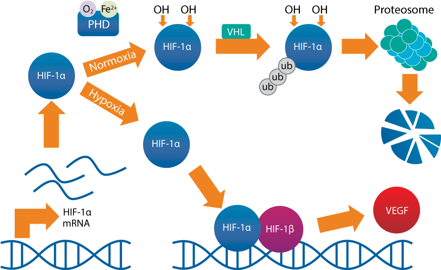 HIF-1α protein regulation HIF-1α protein is rapidly degraded when O2 is available (normoxia)