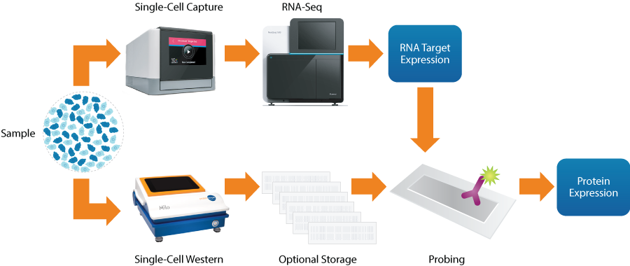 Workflow for protein validation of single-cell RNA-seq data