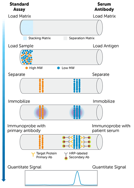 Workflow for SARS-CoV-2 serology assay on the Jess Simple Western system showing the standard assay sequence, serum antibody sequence, and size separation steps